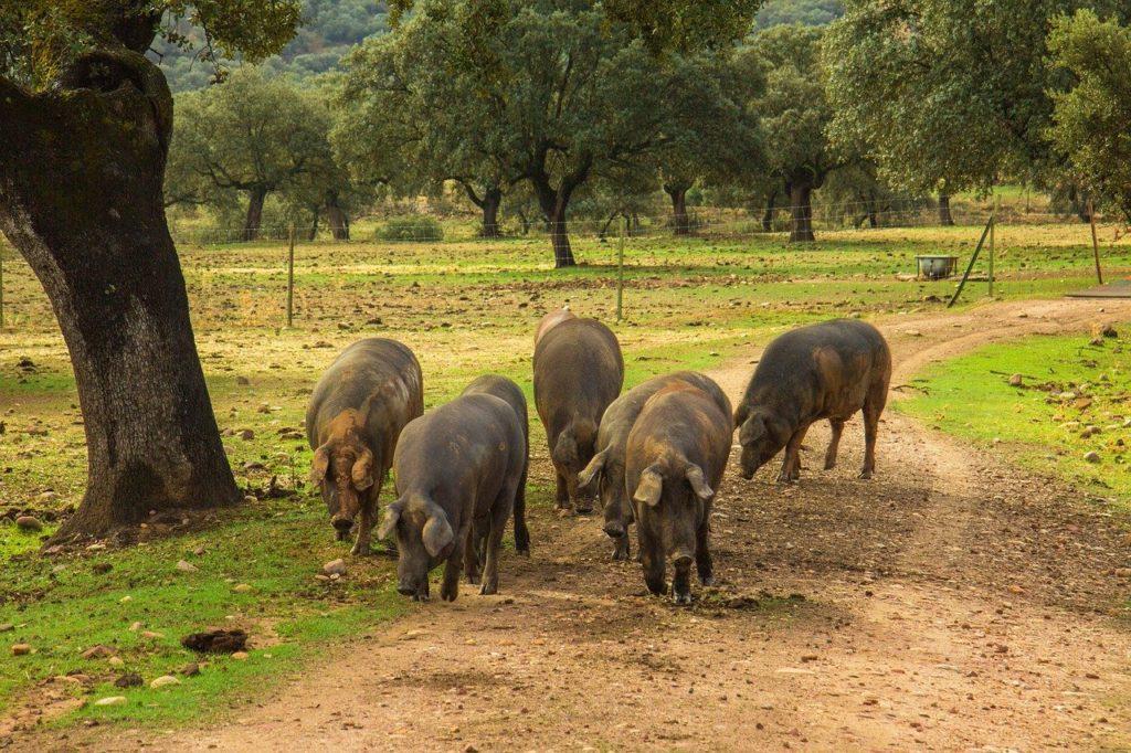ham, pigs, pork